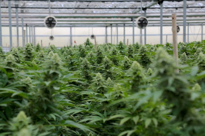 Adhering to Strict COVID-19 Safety Measures, Autumn Brands Releases Bold New Strain